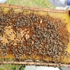 Méhek, fiókok